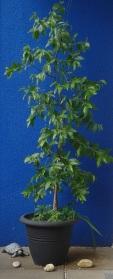 Schokoladenbaum